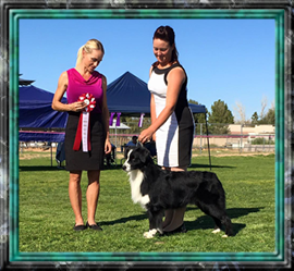 Great weekend in Waddell, AZ. for Pirate (Ch. Shiver Me Timbers of Sundance) and handler Megan Sims.  He won two BOB's under judges Ronnie Bates and Hal Engel and two BOS's under judges Jasa Hatcher and Gloria Kerr. Thank you to all the judges and Megan, who Pirate loves dearly!!